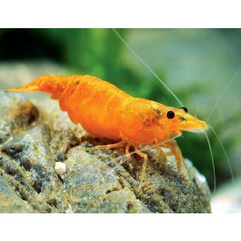 Orange Sunkist Shrimp