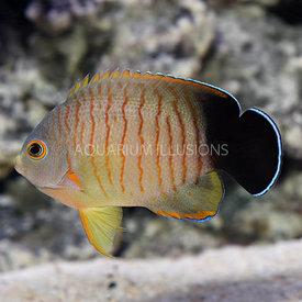 Eibli's Angelfish