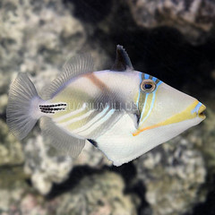 Products tagged with also known as the Humuhumu Triggerfish or Picasso Triggerfish
