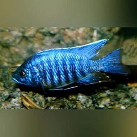 Asst Peacock Cichlid Small