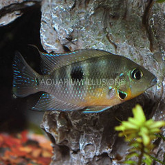 Products tagged with Firemouth Cichlid