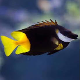 Bicolor Foxface (Siganus uspi)