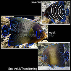 Products tagged with koran angelfish changing color