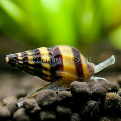 Products tagged with assassin snails