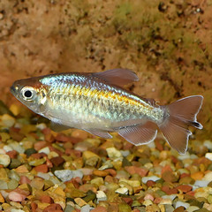 Products tagged with how big do congo tetras get