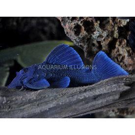 Blue Panaque Pleco