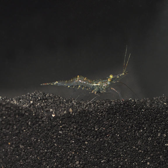 Freshwater Ghost Shrimp