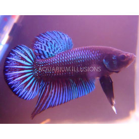 Roundtail Dragonscale Betta