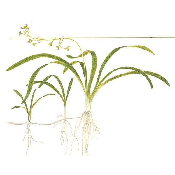 "Tropica Sagittaria subulata potted 2-3"""