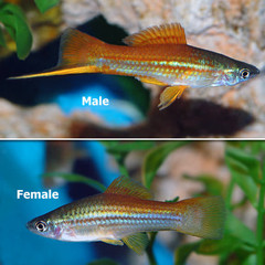 Products tagged with how bog do swordtail fish get