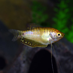 Products tagged with gold gourami fish