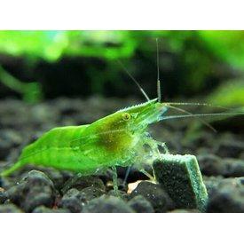 Dwarf Green Shrimp
