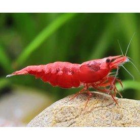 Red Cherry Shrimp, A Grade