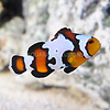 Black Ice Snowflake Ocellaris Clownfish