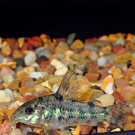 Paleatus Corydorus Catfish