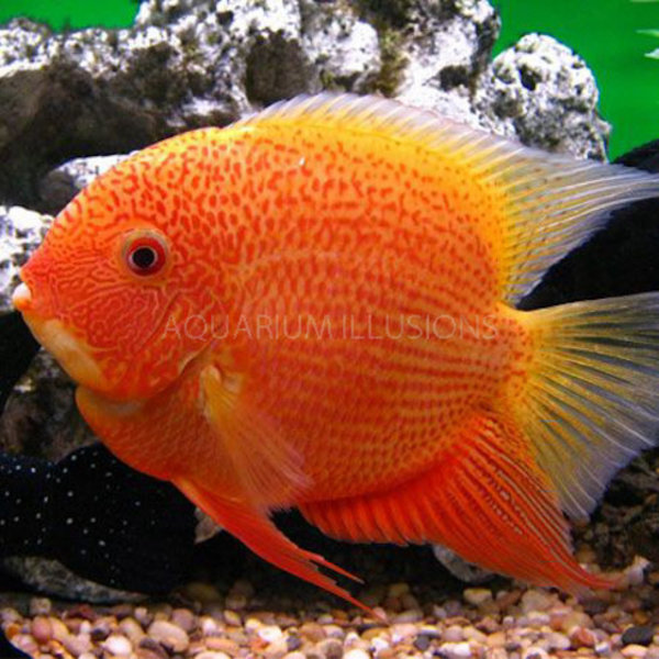 Red Spotted Gold Severum