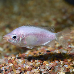 Products tagged with kissing gourami food