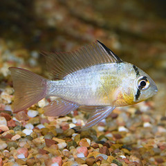 Products tagged with Red Ram Cichlid