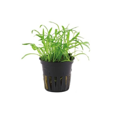 """Lilaeopsis brasiliensis potted 2-3"""""""