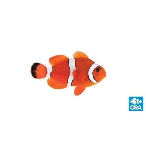 Blood Orange Clownfish