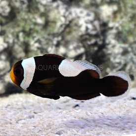 ORA Black Saddleback Clown