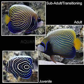 Imperator Angelfish