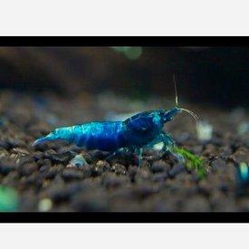 Blue King Kong Shrimp
