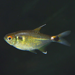 Products tagged with Head & Tail Light Tetra