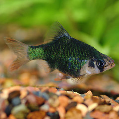 Products tagged with Are Tiger barbs Hardy?