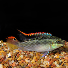 Products tagged with Is Kribensis a community fish?