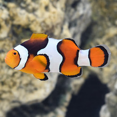 Products tagged with do clownfish pair together