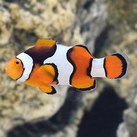 Black Onyx Clownfish