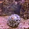 Crowned Turban Snail