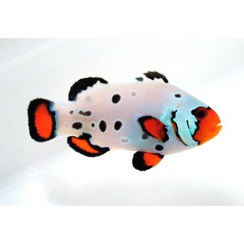 Frostbite Ocellaris Clownfish