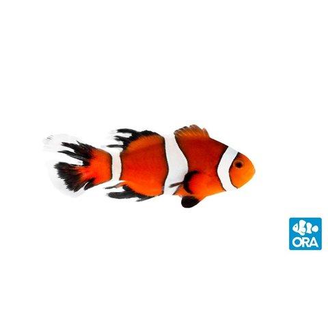 ORA Longfin Ocellaris Clownfish