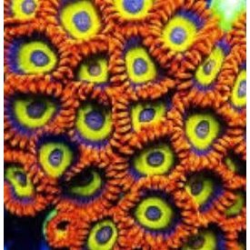 Fruit Loops Zoa Frags, per polyp