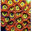 Fruit Loops Zoa Frags, per polyp