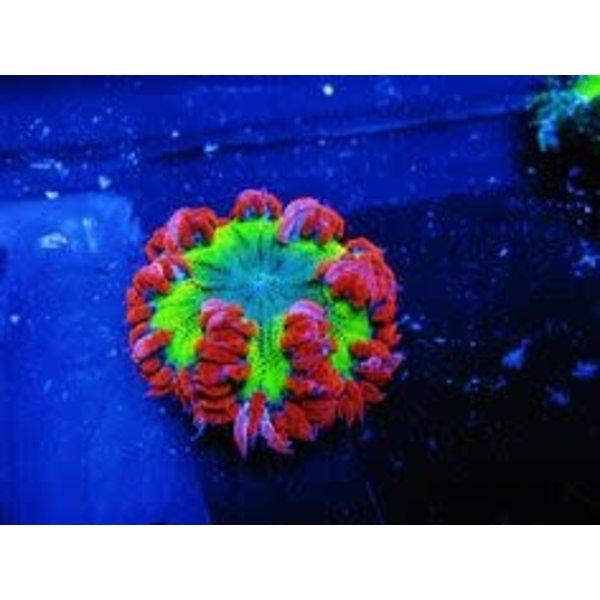 Flaming Red Skirt Rock Flower Anemone