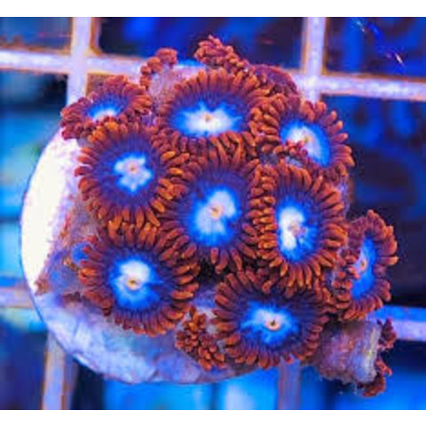 Fire & Ice Zoanthid Frag