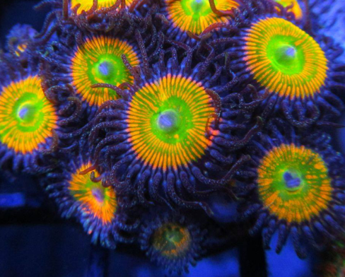 So What Are Zoanthids?