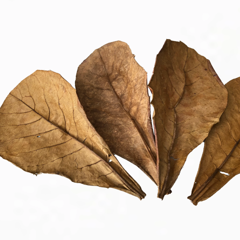 "6 medium Catappa Leaves (6"")"