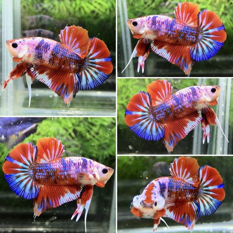 Candy Plakat Betta