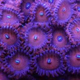Red People Eater Zoa Frag