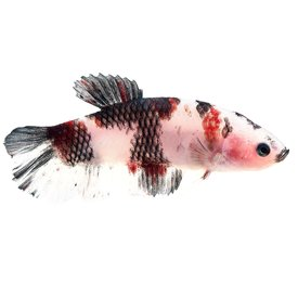 Male Short Tail Koi Betta