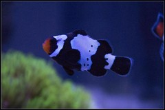 Products tagged with Black Snowflake Clownfish