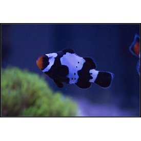 Black Snowflake Clownfish
