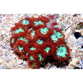 Blastomussa Coral 10 head