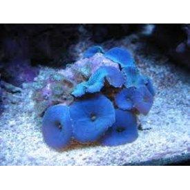 """Blue Mushroom Coral 3-5"""""""