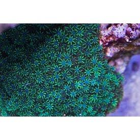 Blue Sympodium Polyp