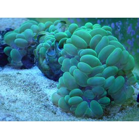 Bubble Coral, Metallic Green